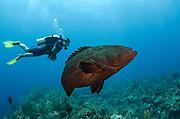 Black Grouper (Mycteroperca bonaci) & diver<br /> Hol Chan Marine Reserve<br /> near Ambergris Caye and Caye Caulker<br /> Belize Barrier Reef, second largest barrier reef in the world<br /> Belize<br /> Central America