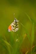 Orange Tip butterfly (Anthocharis cardamines) is a butterfly in the Pieridae family. Photographed in Israel in February