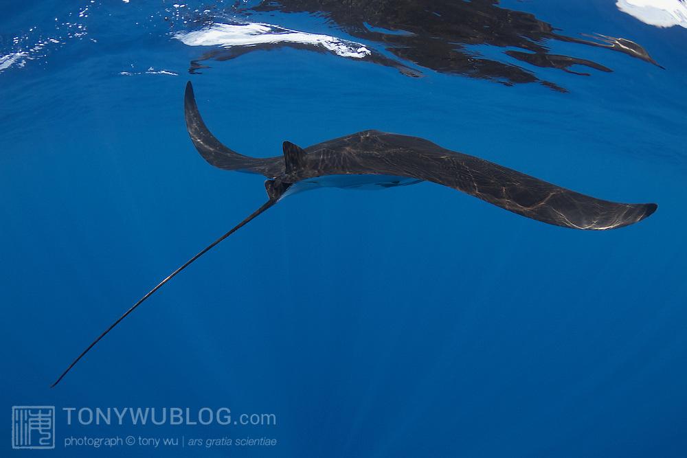Juvenile manta ray swimming along the ocean surface skimming for food