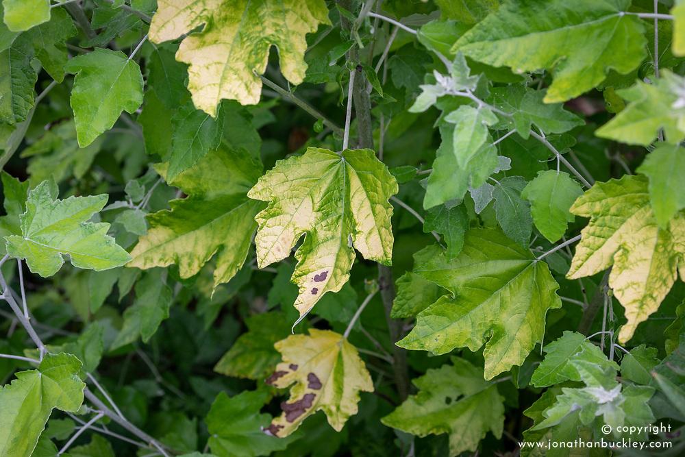 Sun scorched leaf of Populus alba 'Richardii' - White poplar