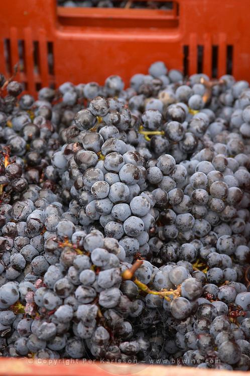 Hand picked grapes. Harvested grapes. Cabernet Franc. Chateau Reignac, Bordeaux, France