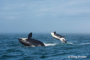 southern resident orca, or killer whale, Orcinus orca, juvenile and adult breaching together in a double breach, off southern Vancouver Island, Strait of Juan de Fuca, British Columbia, Canada ( Eastern North Pacific Ocean ); #3 in sequence of 5