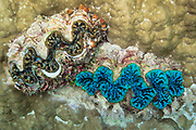 Boring Giant clams (tridacna crocea) embedded in coral on tropical coral reef - Agincourt reef, Great Barrier Reef, Queensland, Australia. <br /> <br /> Editions:- Open Edition Print / Stock Image