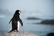 Chinstrap Penguin (Pygoscelis antarcticus), standing on land, looking out to sea