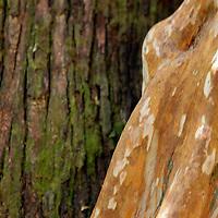 South America, Argentina, Bariloche. Cohuie tree detail.