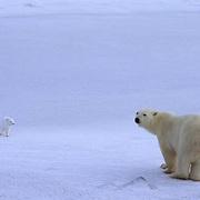 Polar Bear, (Ursus maritimus) With Arctic fox. Churchill, Manitoba. Canada.