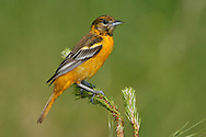 Baltimore Oriole -  Icterus galbula - Adult female