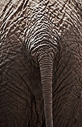 Close up of an elephant's tail, Amboseli National Park