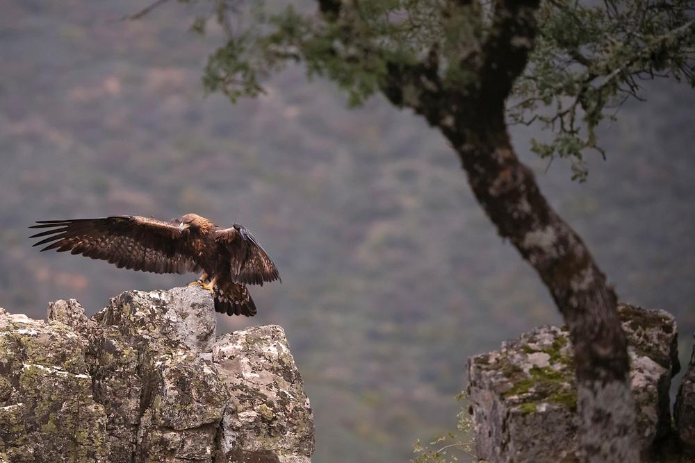 Golden eagle, Aquila chrysaetos, Parque Natural Sierra de Andújar, Andalucia, Spain