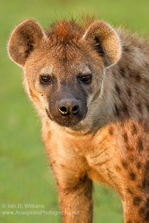 The spotted hyena (Crocuta crocuta) is one of two Hyenas found in Kenya (the other being the shy, purely nocturnal Striped Hyena).  Social animals with high intelligence, hyenas form hunting packs and frequently clash with lions over food and territory.  Spotted hyenas derive the majority of their nourishment by hunting medium sized ungulates