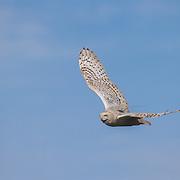 A female snowy owl (Bubo scandiacus) with a transmitter in flight. Barrow, Alaska