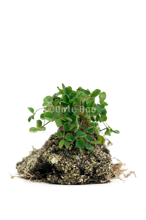 fresh sprouting clover placed on a white seamless back ground