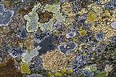 Fungi (lichens)