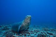 Hawaiian monk seal ( Neomonachus schauinslandi ) male ( critically endangered species endemic to Hawaii ), Lehua Rock, near Niihau, off Kauai, Hawaiian Islands ( Central Pacific Ocean )
