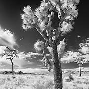 Broken - Joshua Tree National Park CA - Infrared Black & White