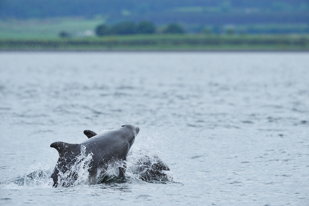 Group of adult Bottle-nosed Dolphins  travelling,<br /> Tursiops truncatus,<br /> Moray Firth, Nr Inverness, Scotland - June