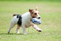 One black, white and tan Jack Russell terrier dog fetches a small rugby ball in a park<br /> 9 Aug 2010 .Images © Paul David Drabble..