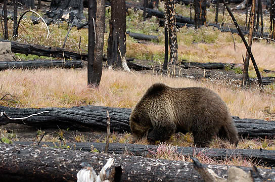 Grizzly Bear, (Ursus horribilis) A female pauses while foraging for plants near the road in Yellowstone National Park, Fall.