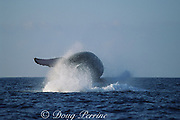 humpback whale, Megaptera novaeangliae, breaching, Hawaii Island, #7 in sequence of 9; caption must include notice that photo was taken under NMFS research permit #587