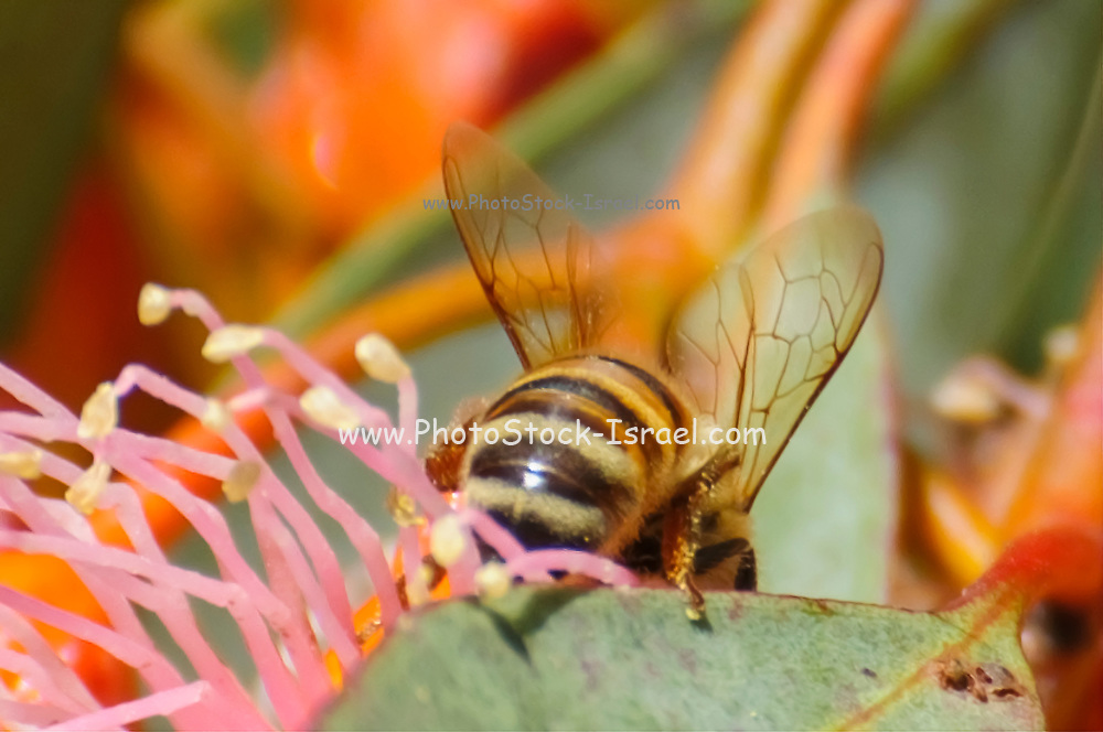 bee on a Cluster of red / pink flowers, buds & grey green leaves of Eucalyptus torquata, commonly known as coral gum or Coolgardie gum, is an endemic tree of Western Australia. The species is cultivated for use in gardens and as a street tree. Photographed in Israel in February