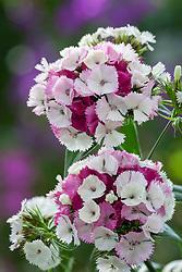 Dianthus barbatus F1 'Sweet Pink Magic'. Sweet William