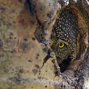 Northern pygmy owl (Glaucidium gnoma) peeks out through the hole of its nest cavity. Montana