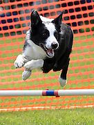 Quinn, a smooth boarder collie, runs thru the dog agility course during the first annual PoochaPalooza-Charlottesville dog festival for people Saturday at Tonsler Park in Charlottesville, VA. Quinn is part of Photo/Andrew Shurtleff