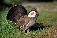 Dusky Grouse - Dendragapus obscurus - male