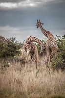 Two male Giraffes necking or fighting for dominance in the Okavango Delta, Botswana.