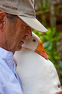 """Author Paul Theroux at his office on the North Shore of the island of Oahu, Hawaii. Pictured here is Paul with one of his pet geese, """"Willie"""""""