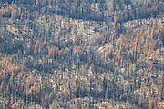 Trees blackened by a large forest fire in Lassen National Forest, California.