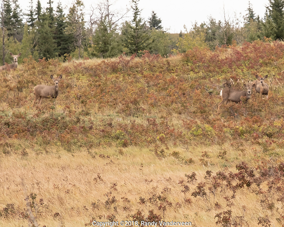 Photo Randy Vanderveen<br /> Grande Prairie, Alberta<br /> 2018-09-18<br /> Mule deer look up from grazing in the Kleskun Hills to check out the photographer.