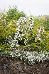 Clematis montana growing over a hedge of conifers