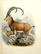 The Nubian ibex (Capra nubiana [Here as Capra beden]) is a desert-dwelling goat species found in mountainous areas of northern and northeast Africa, and the Middle East. Its range is within Algeria, Egypt, Ethiopia, Eritrea, Israel, Jordan, Oman, Saudi Arabia, Sudan, and Yemen. It is extirpated in Lebanon. From the survey of western Palestine. The fauna and flora of Palestine by Tristram, H. B. (Henry Baker), 1822-1906 Published by The Committee of the Palestine Exploration Fund, London, 1884