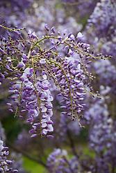 Wisteria sinensis 'Amethyst'