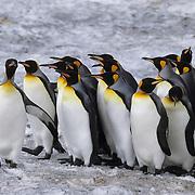 King Penguin (Aptenodytes p. patagonica) group at St. Andrews Bay, South Georgia Island.