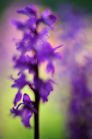 Early Purple Orchid (Orchis mascula), Forca Canapine/Sibillini National Park, Italy; WWoE Mission