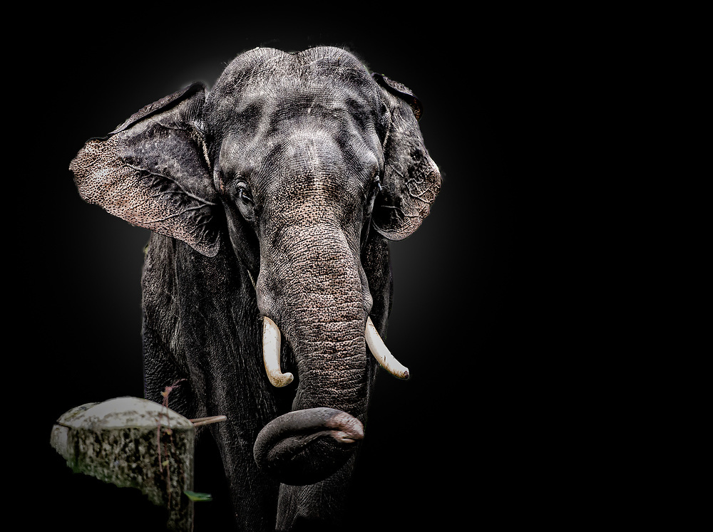 Shot of elephant from the front with black background