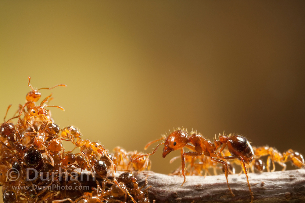 Imported red fire ants (solenopsis invicta), Texas.