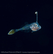 An unidentified filefish larvae drifts in the Gulf Stream current offshore Palm Beach, Florida, United States during a blackwater dive late in the evening.