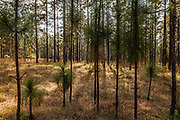 Bottlebrush and sapling stage, Longleaf pine (Pinus palustris Miller) forest