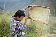 A Bhutanese farmer winnows rice in the field after harvesting, Chimi Lhakhang, Bhutan. A staple food of the Bhutanese people, red rice cultivation is declining due to the import of white rice from India.