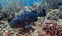 Black grouper seen while scuba diving in Belize