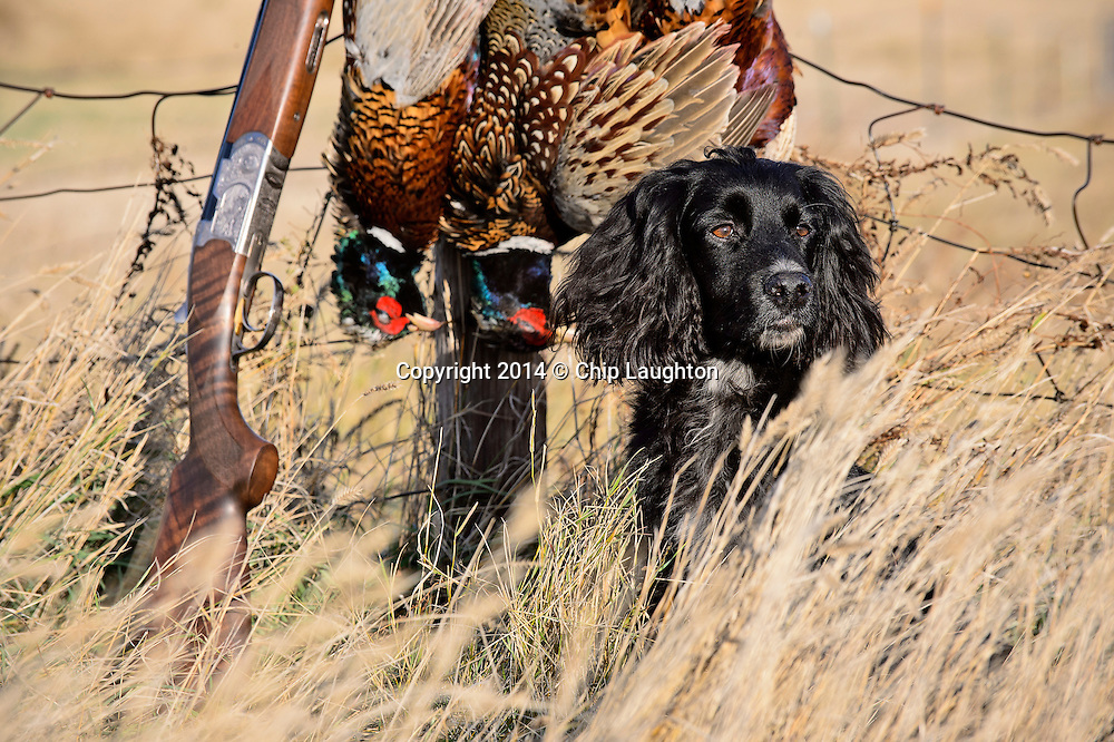 englsih cocker spaniel pheasant hunting stock image photo photography