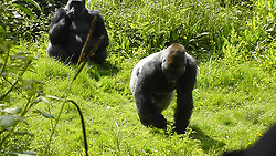 It has been reported today that three teenage gorillas, Kiondo, Kivu and N'Dowe have caused thousands of pounds worth of damage to their enclosure at Paignton Zoo. These pictures show th gorillas in the enclosure in June 2017.<br />