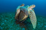 Green Sea Turtles (Chelonia mydas) mating offshore Palm Beach, FL. The summer months witness the arrival of large numbers of green sea turtles to the Palm Beaches, where they mate and lay eggs.