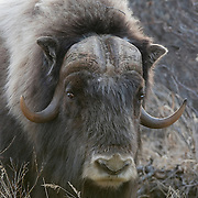 A muskox in Alaska.
