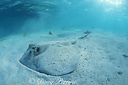 southern stingray, Dasyatis americana, partially covered with sand, Caye Caulker, Belize, Central America ( Caribbean Sea )