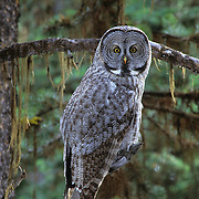 Great Gray Owl (Strix nebulosa) perched on a tree limb in a forest of southwest Montana.