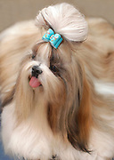 """A well groomed pedigree Shih Tzu dog The Chinese """"Lion Dog"""" with a blue ribbon on its head"""